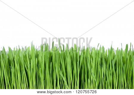 Healthy green grass over white background