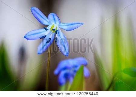 nice scilla bifolia flowers macro shoot