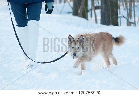 Red Shaggy Terrier Mongrel Dog Walks On Leash On Snow