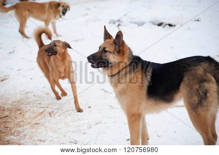 Three Red Barking Dog On Snow