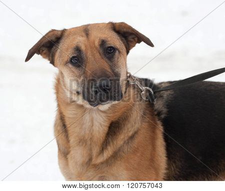 Yellow And Black Mongrel Dog Standing On Snow