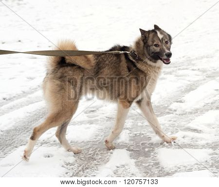 Gray And White Siberian Laika Running On Snow