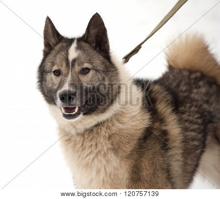 Gray And White Siberian Laika On Snow