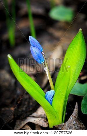 blue spring wild flowers - scilla bifolia