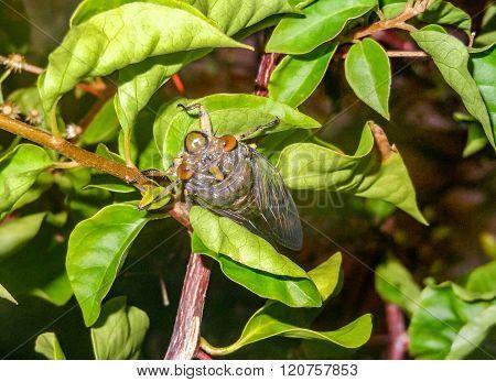 Cicada In Cambodia