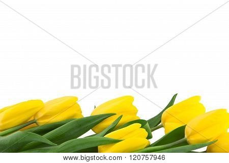 Row Of Yellow Tulips Isolated On White Background. Spring Flowers. Spring Background. Valentine's Da