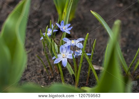Spring flower Scilla luciliae in the garden