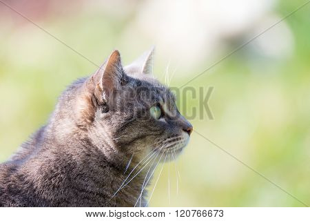 Profile Portrait Of Grey Cat Snout, With Green Eyes, Outdoors