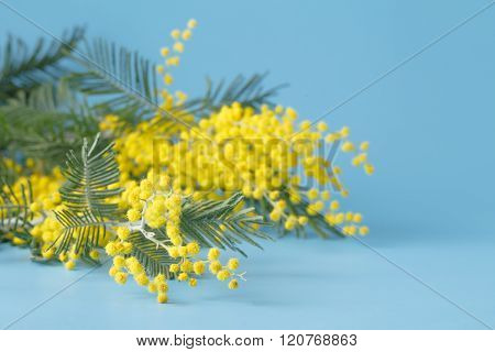 Spring Yellow Flower Mimosa On Blue Plain Background
