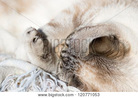 Siamese White Cat Lying With Bent Paws, Closeup