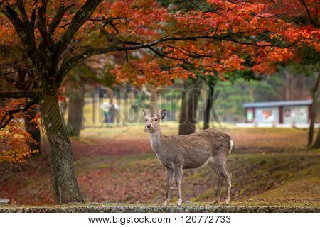 Wild deer roam free in Nara Park.