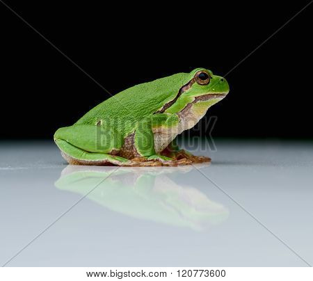European Tree Frog On A Reflecting White Plate