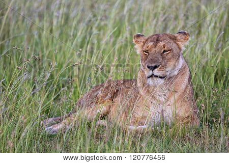 Beautiful Lioness Resting At The Masai Mara National Park