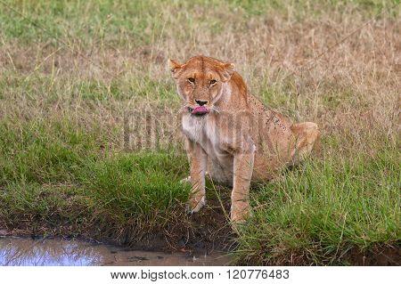 Lioness Drinking At The Masai Mara National Park Kenya
