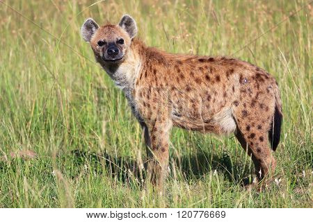 Young Spotted Hyena At The Masai Mara National Park Kenya Africa