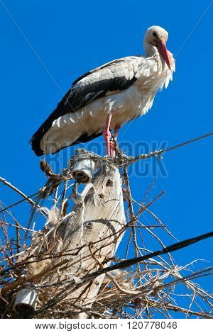 White stork standing on wooden post. nature