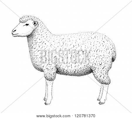 Sheep illustration old lithography style hand drawn