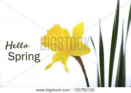 Springtime Yellow Daffodil.