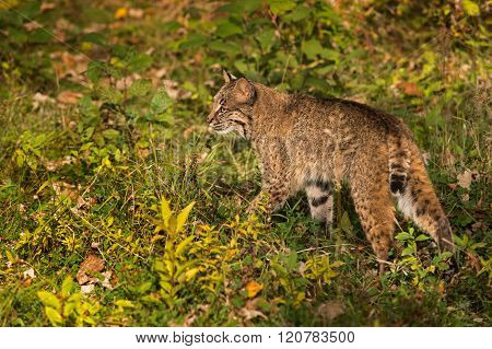 Bobcat (lynx Rufus) Walks Left Through Grass