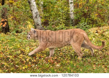 Adult Male Cougar (puma Concolor) Walks Left