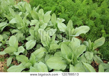 Green indian lettuce and carrot in growth at vegetable garden