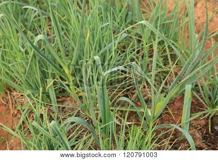 green garlic sprout in growth at vegetable garden
