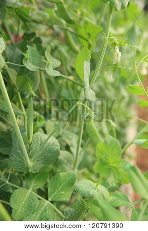 green pea crops in growth at garden