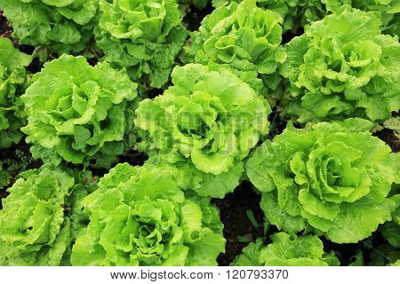 green lettuce plants in growth at garden