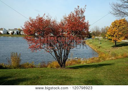 Serviceberry Bush in Autumn