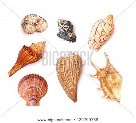 Seven Seashells