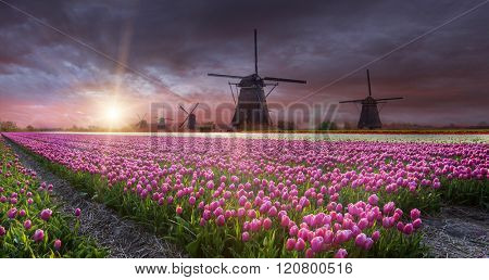 Windmill with beautiful tulip field during sunset in Holland.