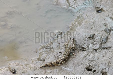Cute Blue spotted mudskipper with blue dots (Boleophthalmus boddarti) walking with fins on wet muddy land in mangrove forest, Thailand