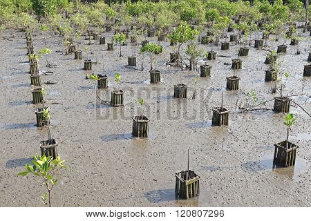 Rows of young plantation field at mangrove forest during low tide in Thailand