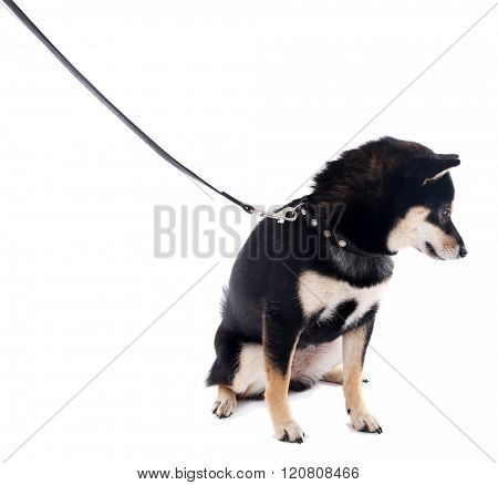 Siba inu with lead isolated on white background
