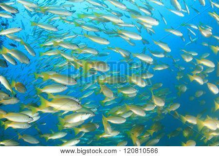 Yellow snapper fish shoal underwater