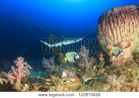 Coral reef with fish and Whitetip Reef Shark
