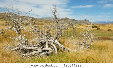 The remains of burned tree in Torres del paine national park, Chile