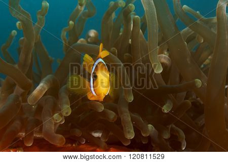 Clownfish or Anemonefish in sea anemone