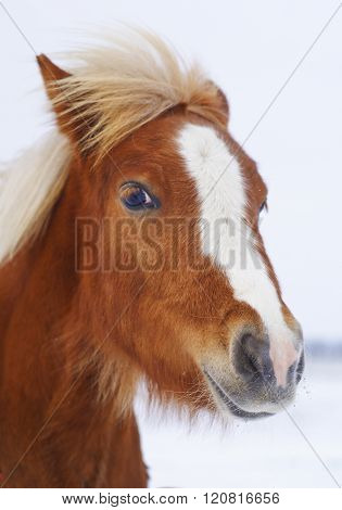 red pony with a big white blaze on his head on a snow field background
