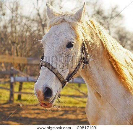 White horse in halter standing in a paddock next to the fence