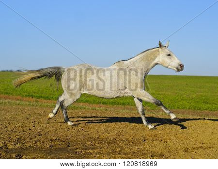 white horse with a gray tail and short mane runs on the sand next to the green grass