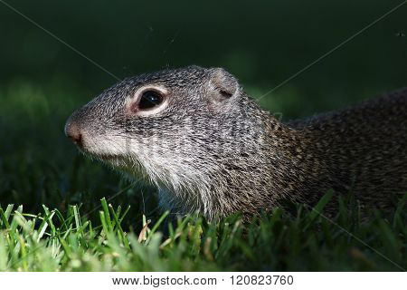 Squirrel hiding in the shadows of long grass.