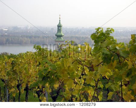 Autumn Vineyard In Austria