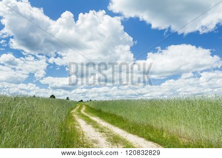 Farm unripe rye field under white cirrus clouds and azure sky