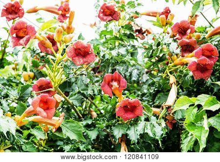 Trumpet Vine Flowers - Campsis X Tagliabuana, Gardening Theme