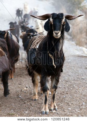 Beautiful Caravan Of Goats In Western Nepal
