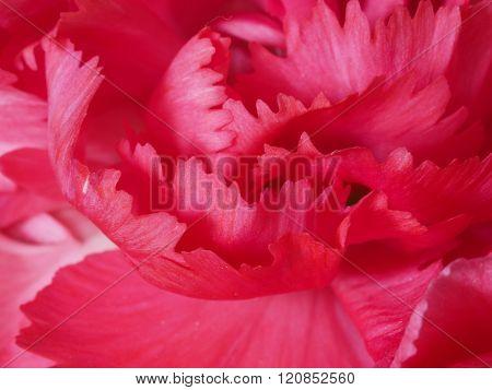 Macro Of Pink Carnation Flower