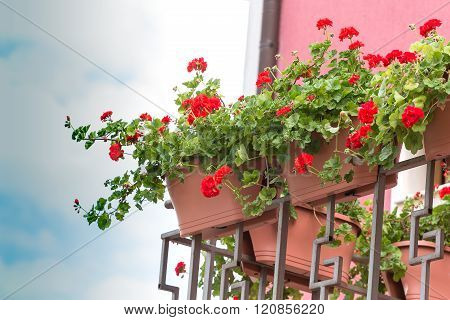 Red geranium flower on a large balcony