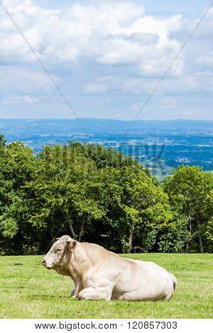 cow on meadow, Rhone-Alpes, France