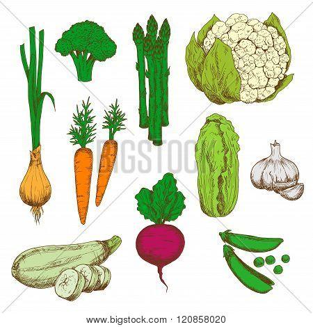Farm vegetables retro color sketches